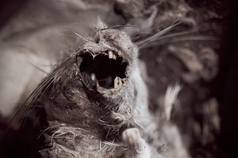 A horrifyingly monstrous dead rat spreading its gaping maw at the camera.