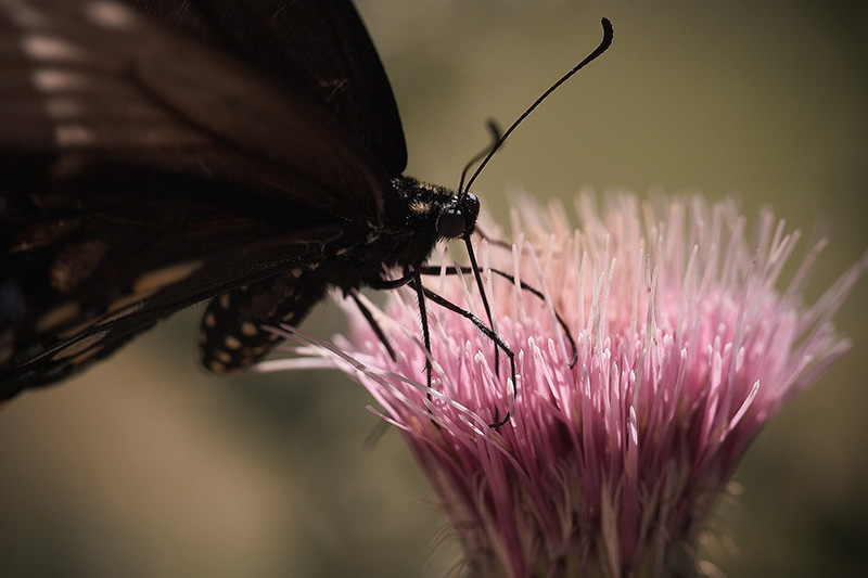 A butterfly perched atop a thistle flower, feeding.