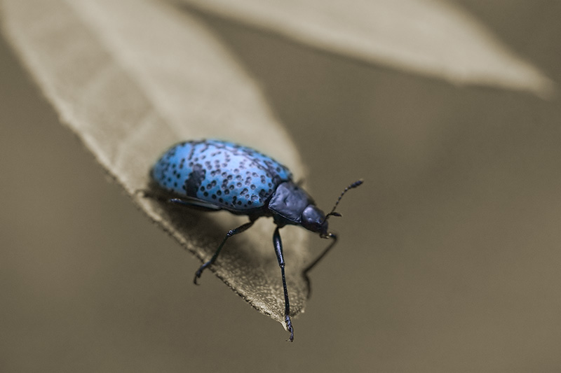 A bright blue beetle with black spots.