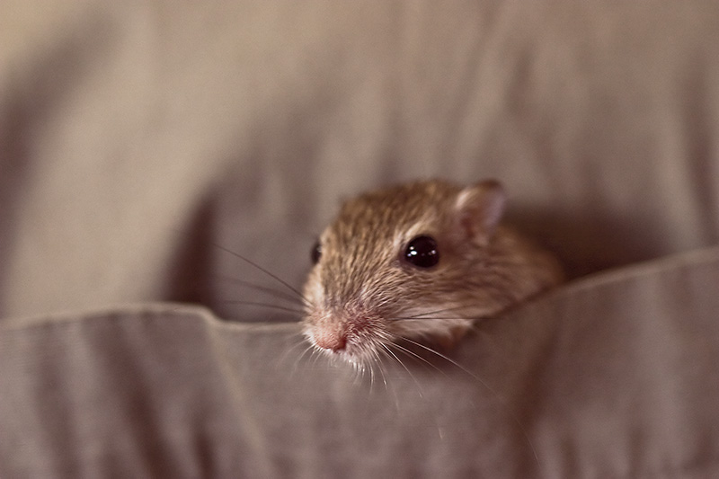 A pocket mouse climbing out of a shirt pocket.