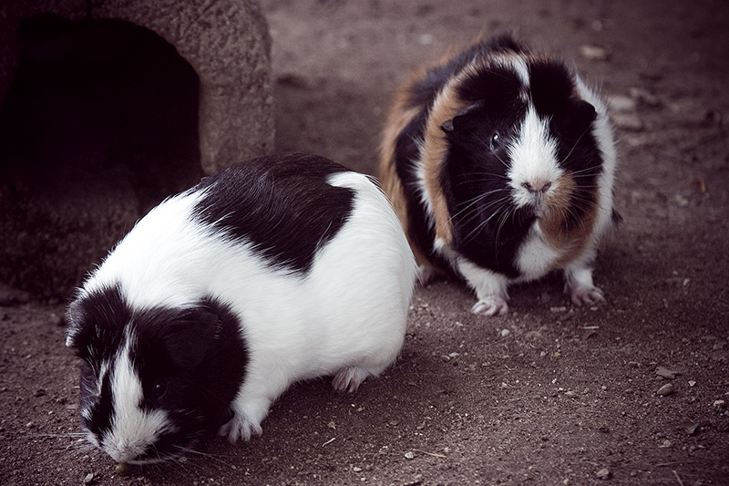 Guinea pigs standing around, not doing much.