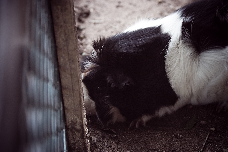 A guinea pig digging under a fence.