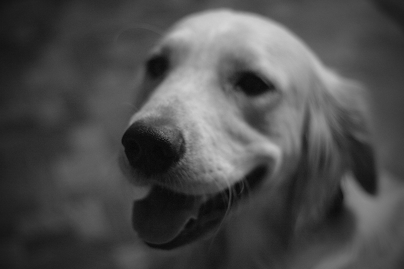 A golden retriever in black and white.