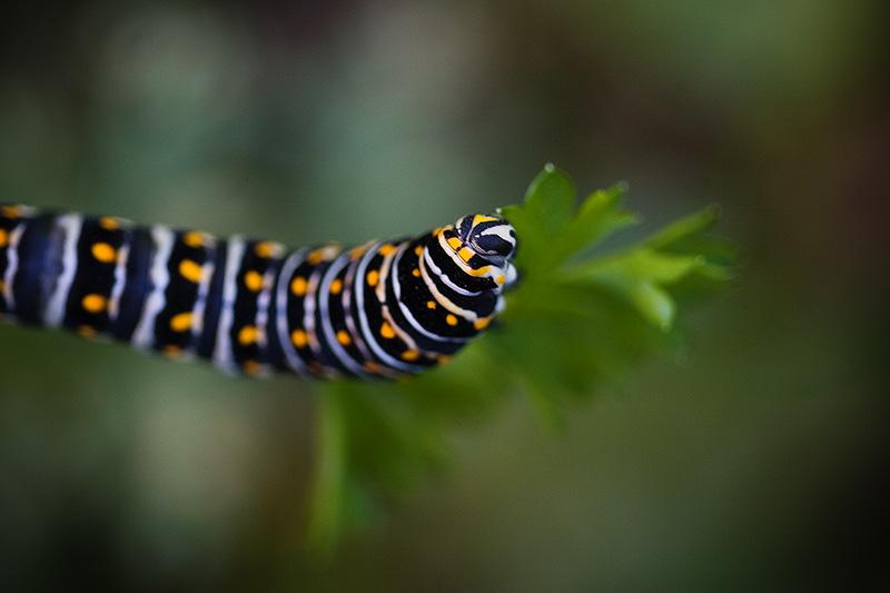 A black, white & orange caterpillar eating a leaf.