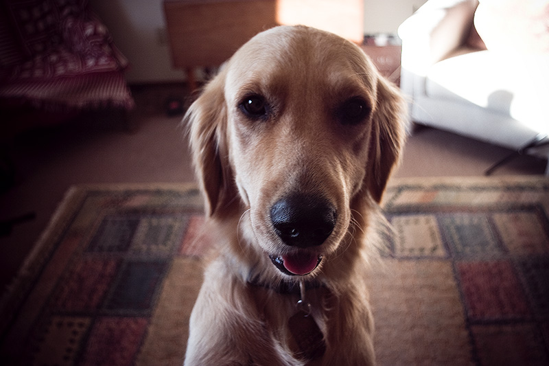 A golden retriever jumping up to look into the camera.