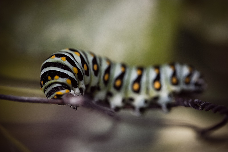 A black, white & orange caterpillar attempting to chew through a chicken-wire fence.
