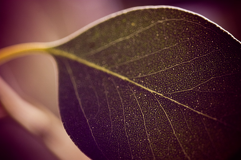Backlit eucalyptus leaf, with veins and other detail visible.