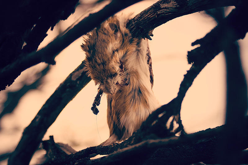 A dead rat lying on a dead branch, where it was dropped by a live bird of prey.