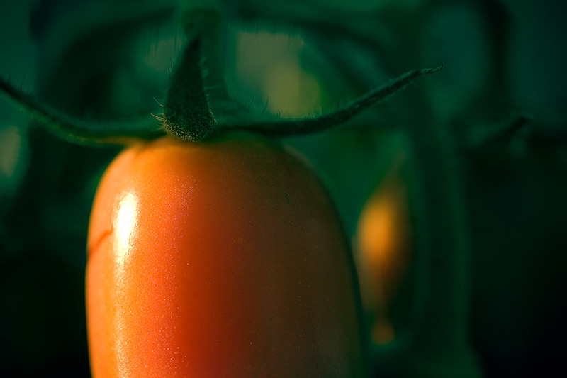 A sunlit, red tomato surrounded by the green of the plant.