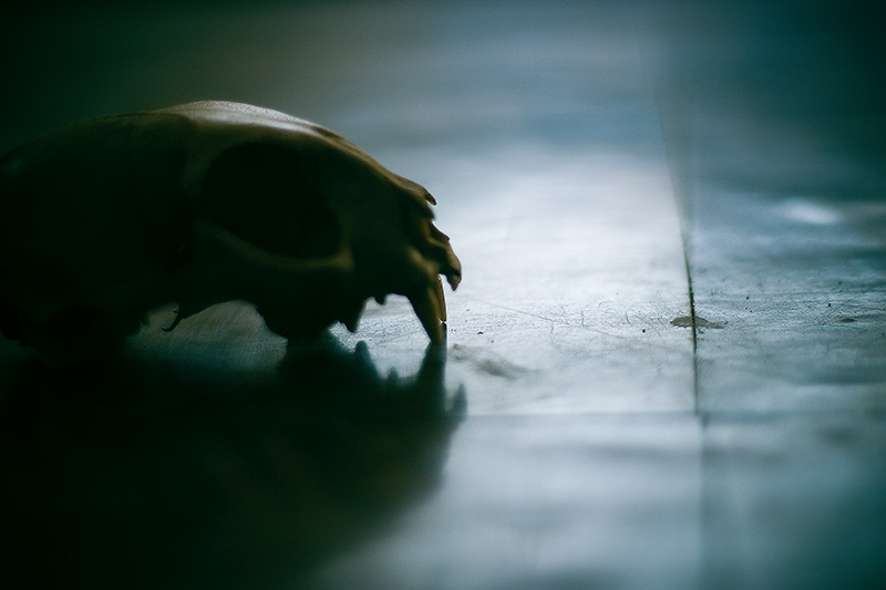 Silhouette of a cat skull lying on a moderately shiny floor.