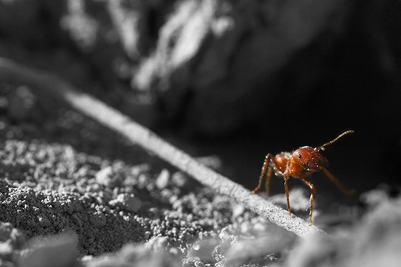 A single red harvester ant walking along a narrow, dead stick.