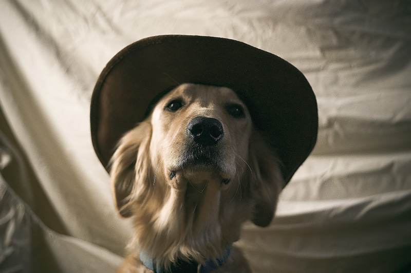 A golden retriever wearing a hat.