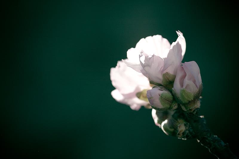 An almond blossom.