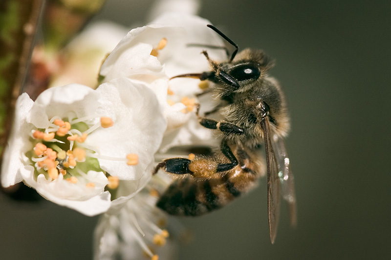 A honey bee drinking from a plum blossom.
