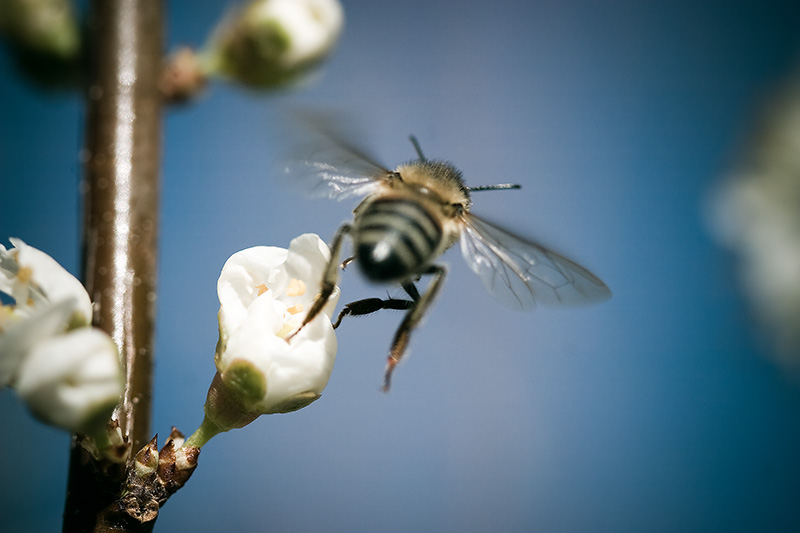 A honey bee flying away from a plum blossom.