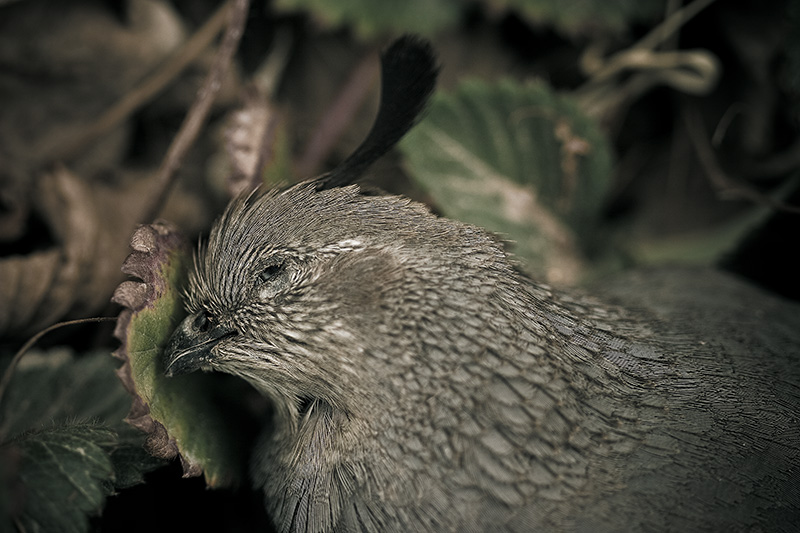 A dead quail lying among strawberry leaves.