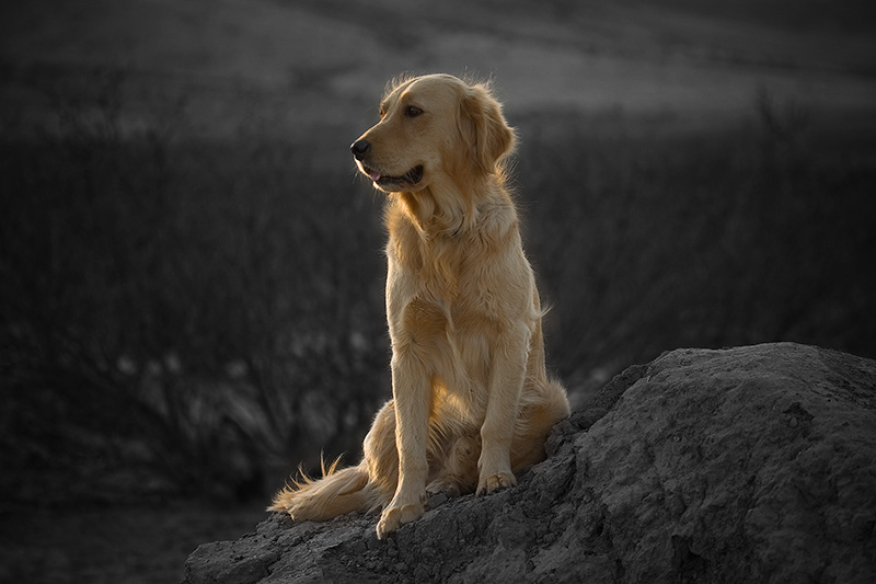 Golden retriever sitting in late-afternoon sunlight.