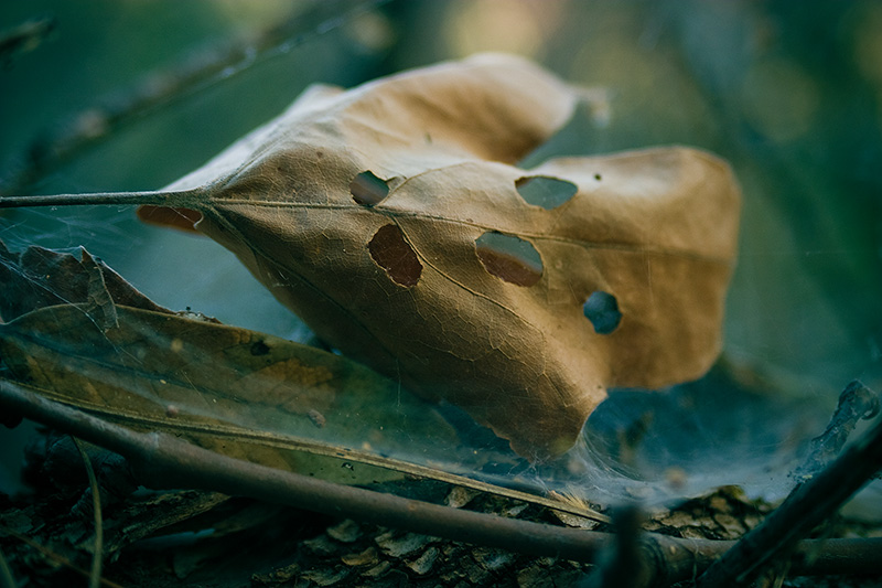 A dead leaf with numerous holes through it.