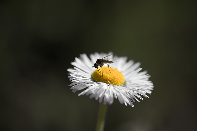 A fly drinking from a white flower.
