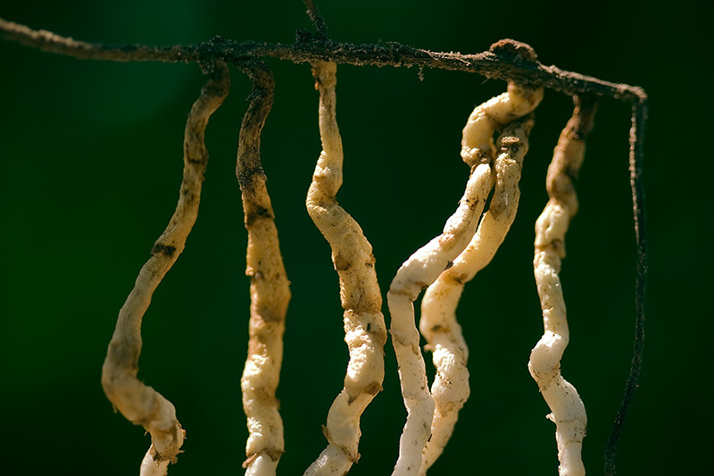 Six vertical roots hanging from a single horizontal root, resembling aquatic creatures hanging on a line.