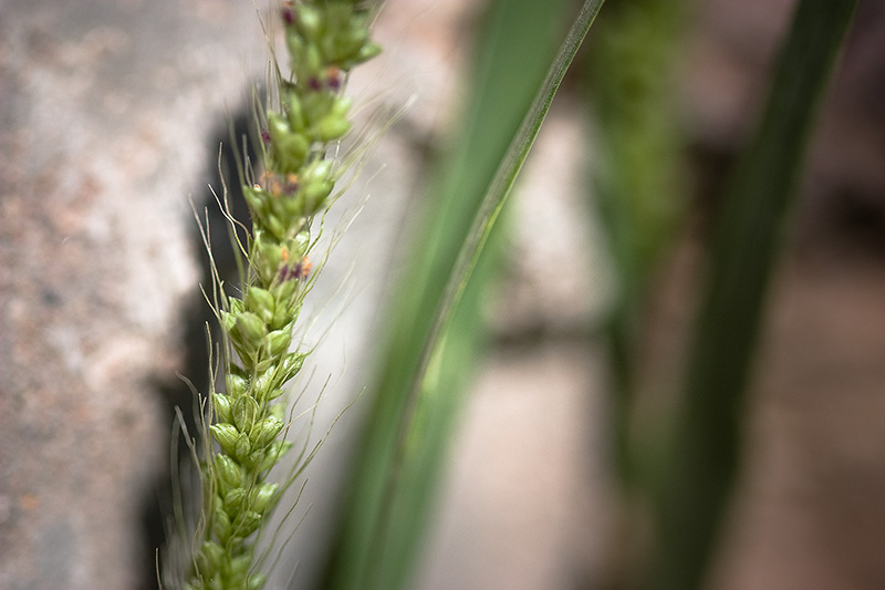 A grass seed head in front of a cement wall, with blades of grass between.