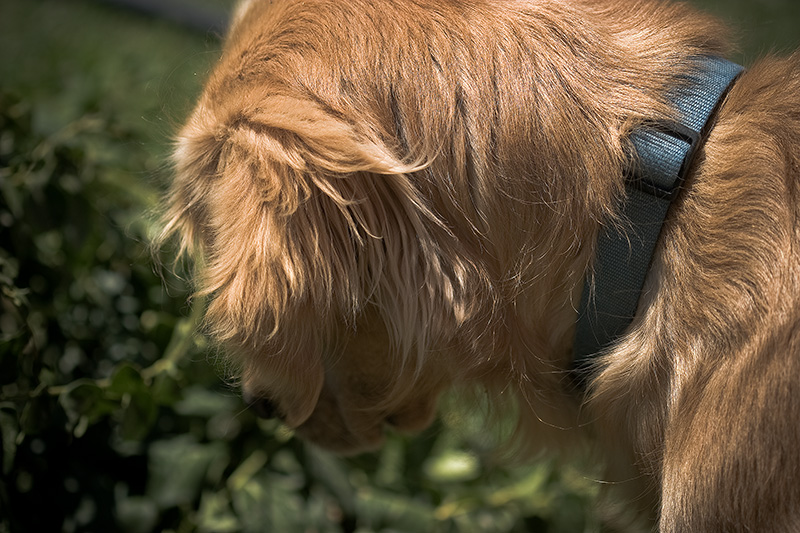 A Golden Retriever stares intently at something crawling through the bushes.