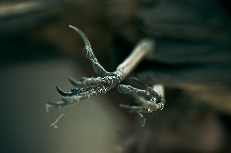 A close-up of the feet of a dead bird.