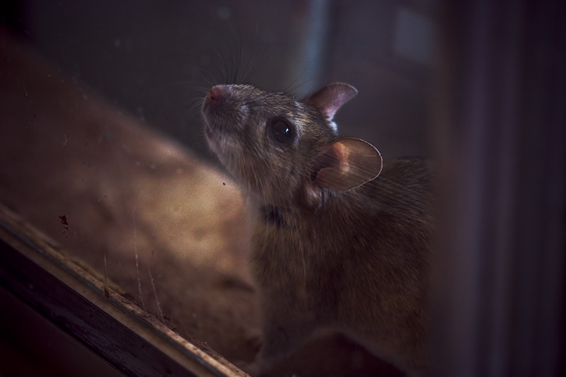 A large rat looking through a window.
