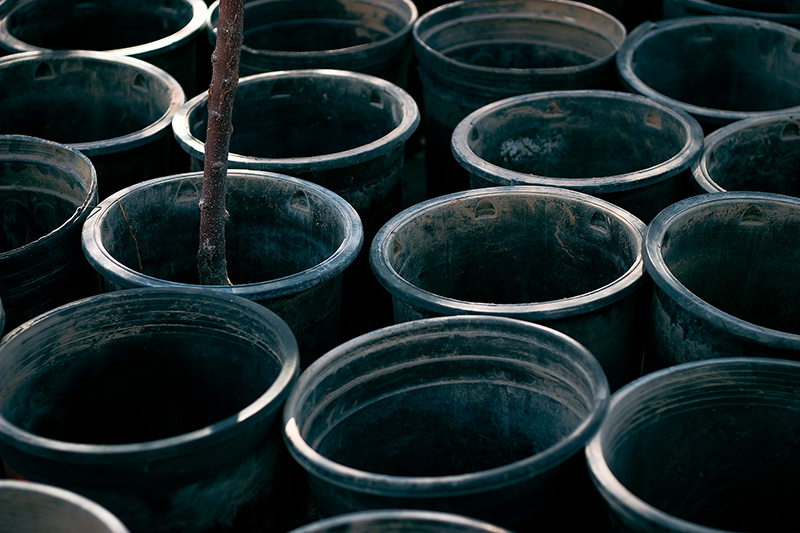 A dead fruit tree in a pot, surrounded by numerous empty pots.
