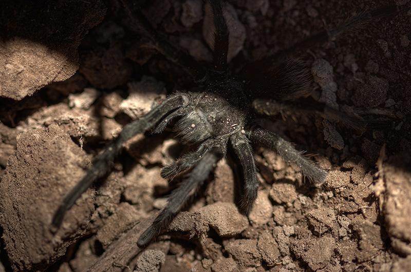 A tarantula half-hidden in the shadows.