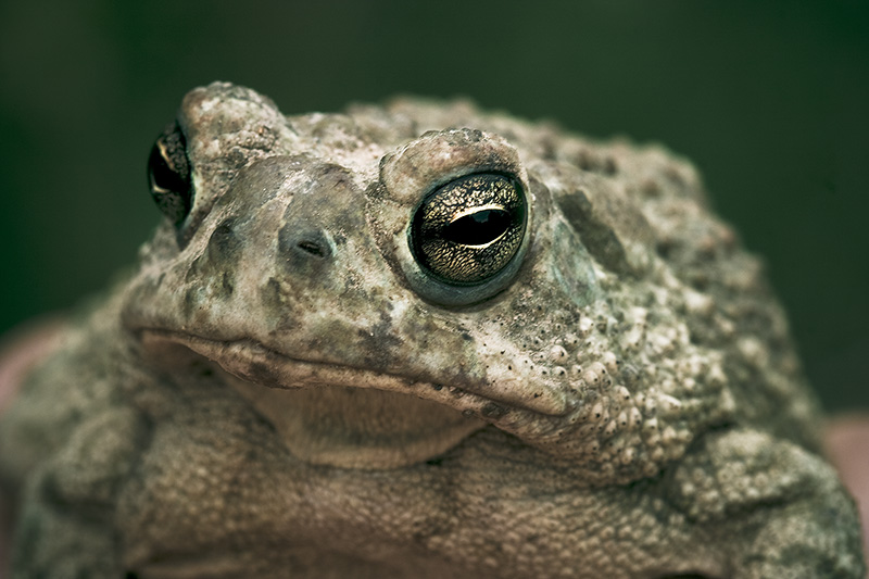 A large toad poses for a portrait.
