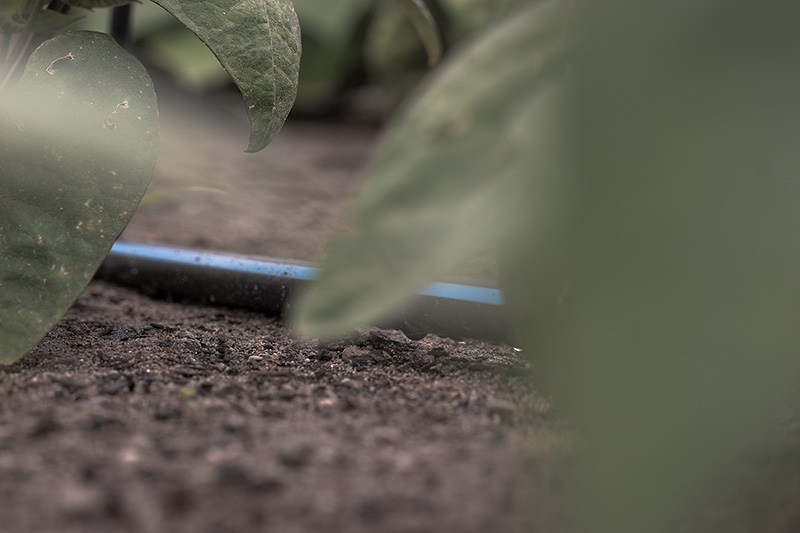 A black irrigation hose passes through a section of bean plants.