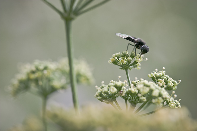 A fly drinks from a dill flower.