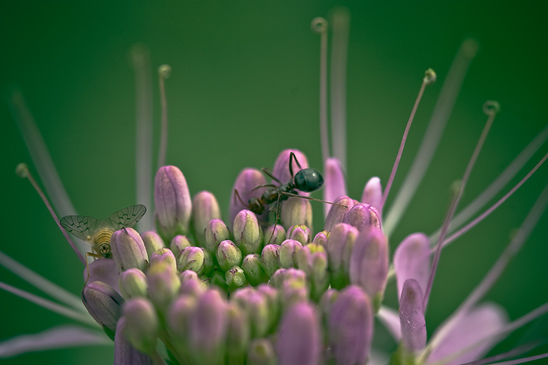 An ant and a fly on the surface of a purple flower.