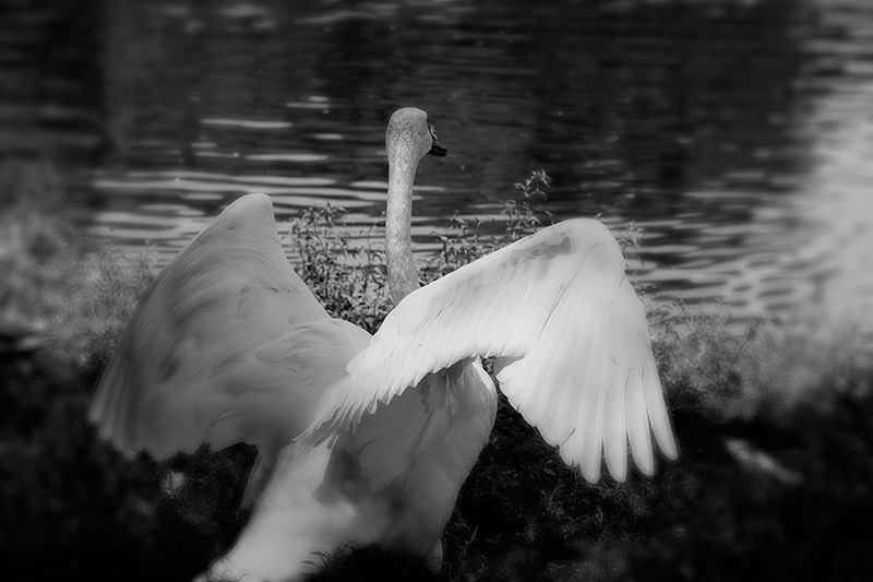A swan, seen from behind, spreads its wings.