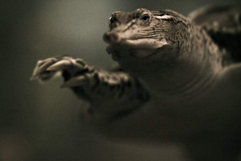A Spiny Soft-shell turtle extending one foot forward.
