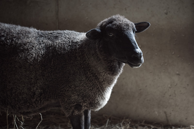 A black sheep with partially white wool.