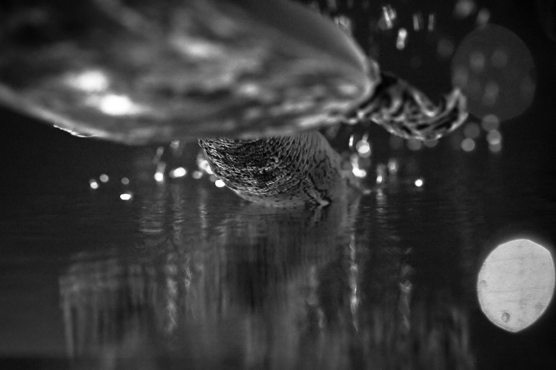 An upside-down image of a Spiny Soft-shell turtle surfacing.