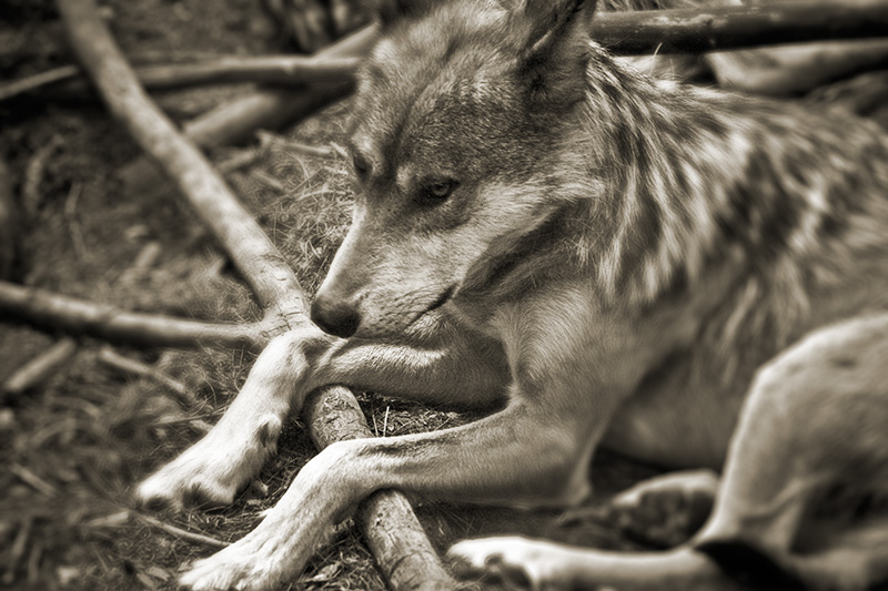 A Mexican Wolf lying with its legs draped over a log.