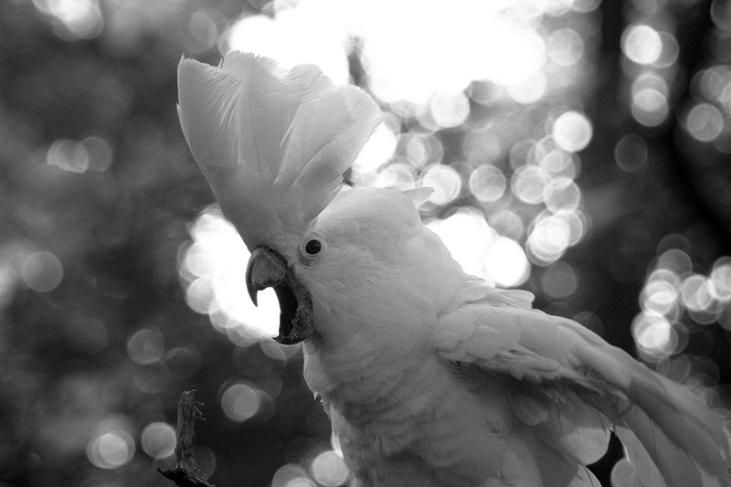 An Umbrella Cockatoo with crest extended and beak open.