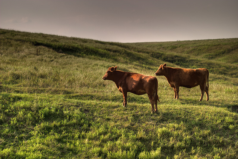 Two brown cows standing in a grass-covered, hilly field.