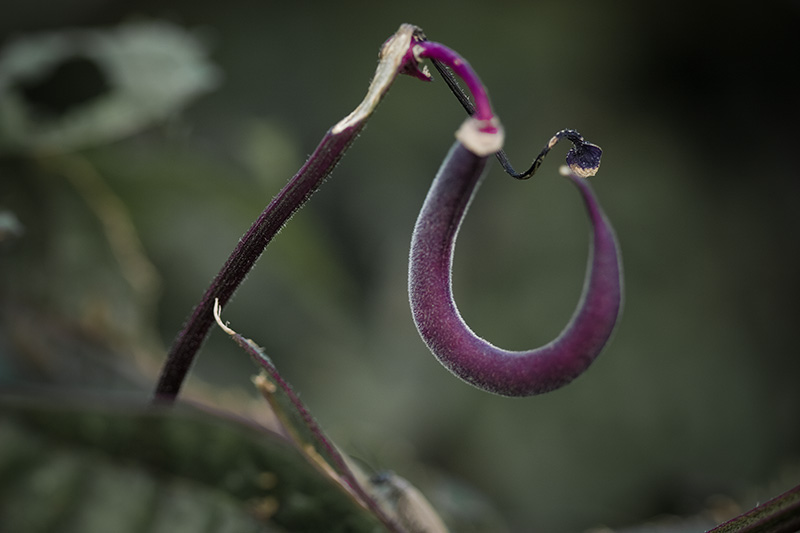 A single purple bean pod hanging from the plant.