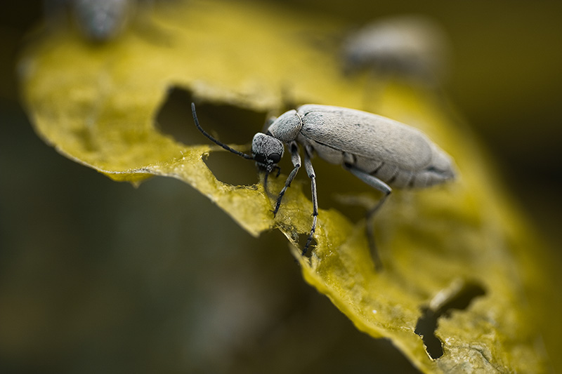 A gray blister beetle eating plant leaves.