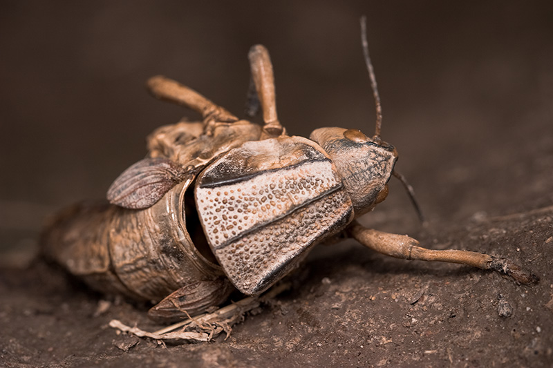A dead Plains Lubber grasshopper hanging from the side of a vertical dirt wall.