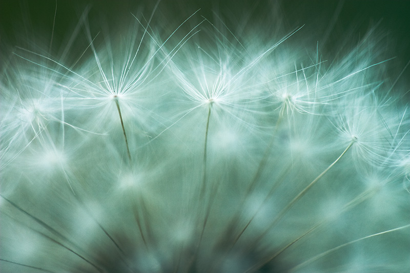 An extreme closeup of dandelion achenes.