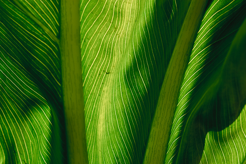A large leaf backlit by the morning sun.