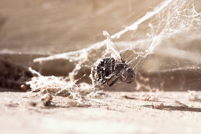 A dead fly caught in a complex spider web.