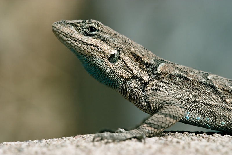 A desert lizard stands at a boundary between warm and cool.