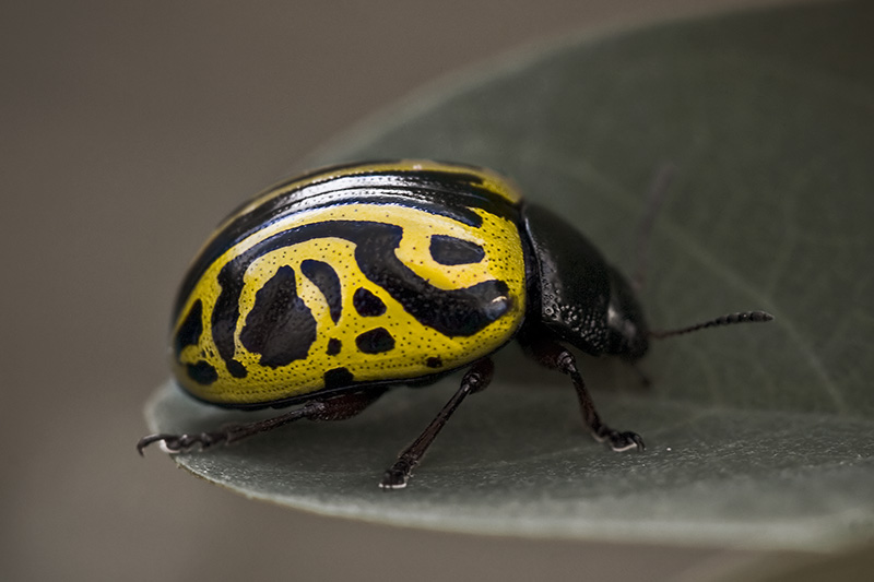 A beetle with an interesting pattern on its shell.