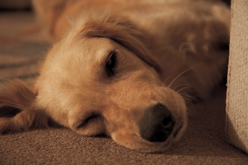 A golden retriever named Boone sleeping on the floor.